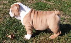 HEY, HEY, HEY!  MY NAME IS FAT ALBERT!  I HAVE 2 BROTHERS AND 2 SISTERS, BUT I THINK THAT I AM THE BEST LOOKING!  WE ARE ALL FOR SALE.  AKC, CHAMPIONSHIP BLOODLINE, 20 WEEKS OLD, FIRST SHOTS AND WORMED.  PARENTS ON SITE.
