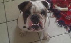 Bentley is a 3 year old, very healthy, fun wonderful English bulldog that our family just does not have the time for. He is not fixed. He is about 60 to 70 pounds. We love him but he needs a new home. Have records.