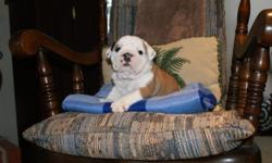 He is the largest of the litter, he is AKC registered and of Champion Bloodline. Loves to play & cuddle.
