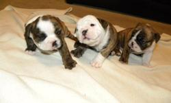 akc registered champion blood line on both sides. asking between 1500 and 2000 payment plans available. 1 male 2 females left. names casey may 7 weeks as of 8/12/2011 CALL KC AT 5136335062