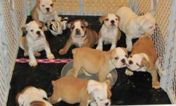I have 9 beautiful 8-wks old A.K.C registered English Bulldog Puppies!! both Male and Female's available.bred for health and temperament. raised in a family home, and are very well socialized. ready to go now just in time for Christmas. if interested call