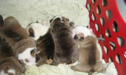 Beautiful puppies born. 4m , 3 f. They wont last long. We have brindles and reds available. Champion bloodlines. Call for more info. --.
