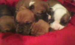 THE FATHER IS REG. ENGLISH BULLDOG MOTHER IS DACHSHUND (WEINNER)THEY ALL HAVE STUB TAILS ...... PARENTS ON PREMISES,THEY DO LOOK MORE LIKE ENGLISH BULLDOG...... WERE BORN ON CHRISTMAS DAY 12-25 WILL BE READY NOW...... $250 CALL OR TEXT 561 355 2760