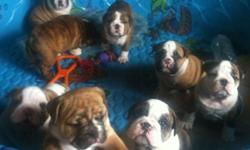 Have got 7 cute english bulldog puppies to give out for adoption, they are current on shots and vaccinations, well trained and ready to be re-homed.