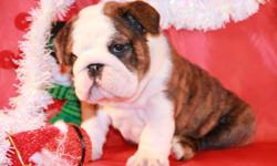 Adorable, beautiful bulldog puppies for sale . Our puppies grow with love and big care . Puppies very socialized with love for people . Pure Breed English bulldog with beautiful body exterior and with great Champion pedigree.All puppies vaccinated by age