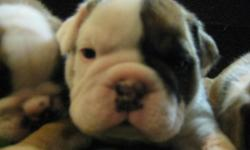 Beautiful English Bulldog Puppies for sell only 3 out of 8 left in the litter!!3 males. Going fast. The price has been lowered from $1500 to 1100 Just in time for the holidays. Shots all caught up De-wormed Crate trained and ready
