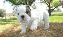 My husband and i have Two lovely English bulldog puppies that we want to give out to any loving and caring home that will give the puppies abundant love and care. the puppies are potty trained, home raised and are just three months old. They are going to
