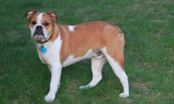 Chunk is an 8-month old male English Bulldog puppy. He is very affectionate and playful. He is great with other dogs and people. Chunk has been fixed, is fully potty-trained and has been micro-chipped. He has had some basic training and is able to sit,