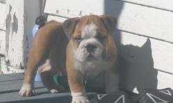 Beautifull red/white 8 week old male english bulldog puppy.   Pet price listed.   Raised in our home and is super adorable and cute.   UTD with all veterinary work, and ready to leave this weekend.
