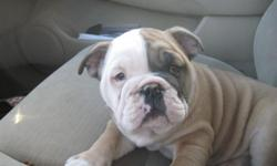 Super playful and sweet English Bulldog puppies, I have one boy and one girl, both are 8 weeks old, they come with ACA registration papers, all of their shots and worming, and a health guarantee. Both of these little guys are very affectionate and play