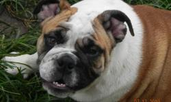 AKC Registered,current on all vaccinations,Home raised. For more info call 417-844-6552 or 417-840-1397. Also you can visit us at www.skybullies.com