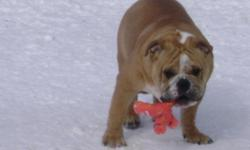 TOP OF THE LINE Healthy Purebred English Bulldog. His Loving Sweet Playful Personality will Impress you. This Male is Perfect for a STUD, has Show Potential and Outstanding PET Quality! English Bulldog with a terrific pedigree! One Puppy, 9 months old.