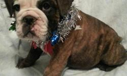 We have 2 adorable puppies left 1m. brindle and white 1 female solid white 9wks old current on all shots been health checked ready to go to new home. Have a Merry Christmas call or txt @ -- ALL PUPPIES HAVE BEEN SOLD WILL HAVE MORE IN A