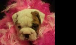 CKC reg. English bulldog pups lots of wrinkles call for more info-- more pics on facebook rumpshakers english bulldogs ''ALL PUPPIES HAVE BEEN SOLD WILL HAVE MORE IN A FEW MONTHS ''