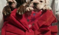 Rumpshaker BabiesCKCreg.. -- more pics on facebook rumpshers english bulldogs. ALL PUPPIES ARE SOLD WILL HAVE MORE IN A FEW MONTHS