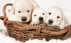 Adorable 4 female, 3 male English Golden puppies. 5 weeks old, great with kids, family raised, well socialized with parent dogs on premises. Ready January 8th, but come and see them to reserve your puppy now. Call 610-559-0417, anytime.