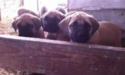 have 9 Big Beautiful Fawn female English Mastiff Puppies. They have all been checked by a vet. Had their 1st shot and worming and are ready to go to their new forever home. We have both parents on site for you to view.Theses