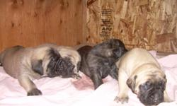 AKC English Mastiff Puppies. Two Fawn males and one female Brindle. Born 10/3/10. Raised in a home enviorment. We own both parents. Dad is a large brindle and Mom a Fawn with black face. $200.00 holds your puppy. Can be picked up 11/20/10. Will deliver