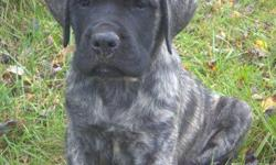 I have 1 AKC registeredFemale English Mastiff Puppy left for sale, She is Brindle. Beautiful and loving. She is almost 13 weeks old. She has had her first and second set of shots and worming. Please contact me for more information. You can call/text