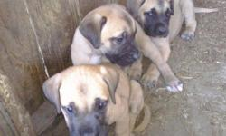 English Mastiff Pups - Registered - $1000 -Big beautiful babies they have their first shots and worming. We have 1 female and 1 male left . They are gentle giants, real intelligent and easy to train They make great family dogs. If you are interested in