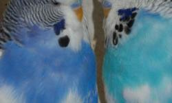 English Parkakeets for Sale $30/ea. Quanity discount available.  ABS Exhibition bird stock with year band on legs. Pets or Breeders. 2010 - 2012. I do have some breeders from 2009 that are only $15/ea. Still breeding