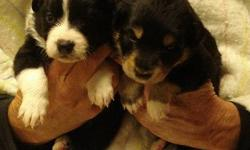 Beautiful Registered English Shepherd Puppies ready just in time for the Holidays.  4 males. 3 females.  Tri color and black and white.  1st shots, wormed, vet checked.  These puppies are socialized, love people and children.