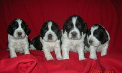 Purebred, AKC registered (2 males left in litter), Liver and White, family raised and nurtured. Vet-checked, dew claws removed, dewormed and 1st shots. Will be ready for new homes in early June.