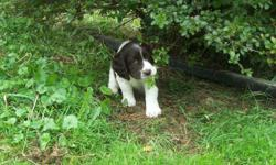 We have 2 females and one male ACA English Springer Spaniel Puppies for sale. They are liver and white and absolutely adorable!!!The puppies have their dewclaws removed, tails docked, and their first shots. They will be ready to leave our home on Sept.14.