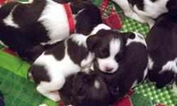 Pure bred Liver and white; Ready for Christmas. Great hunters and family pets.