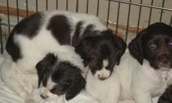 Springer puppies born September 17,2012. Ready for forever homes. Must show proof of home ownership and have Vet reference. Puppies have docked tails. They have been de-wormed and have first and second puppy shot. Dad comes from Champion hunting