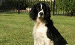 AKC Registered English Springer Spaniel puppies, ready after Oct. 2nd, 2010. First shots provided, tales docked, dew claws removed. Black and white, one liver and white female. Excellent beautiful pets and great hunting ability. Greenville, NC