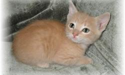 "MANX ~ CYMRIC PUREBRED KITTENS 2 available,born September 26,2011. REG.PARENTS Raised in house and underfoot. Loved and socialized with children and family. Vaccinations current for age. Litterbox trained. Wonderful entertaining little ""dog-cats"" that are"
