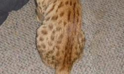 Savannah and Cheetoh cubs available. These wonderful exotic cats make terrific pets. Beautiful spotted coats give an exotic appearance to these intelligent, entertaining and loving cats. With dog-like personalities, they interact well with humans, come