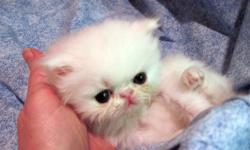We are a small in home cattery offering persians and exotics sh/lh CFA registered kittens. We are a dna/pkd negative cattery. All kittens are from champion pedigrees. Vet checked health certificate and come with required shots for their age. Raised in our