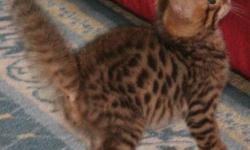 Adorable brown Bengal kitten ready for new loving home!!! This little guy is very active, has a great personality & a sweet disposition! We think he will grow to be close to the size of his father, who is 17 lbs. He is the biggest kitten in this litter!