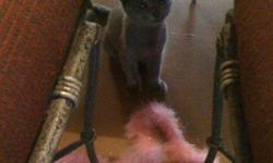 9 wks. Raised indoors. Will stay on the small to medium size. Silvery Gray Velvet double coat with silver tipped guard hairs and two of the four have a white tuft of fur on the throat and bikini area. Greenish Gold Eyes. They have mauve colored pads, The