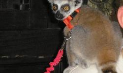 MALE RING TAILED LEMUR, NEUTERED, TAME AND BEAUTIFUL. HE REQUIRES A COMMITTED PERSON AS HE CAN LIVE 25YRS OR MORE. HE NEEDS AT LEAST 6-7 HOURS A DAY OF SUNSHINE AND LOTS OF ATTENTION. HE IS 3 AND A HALF MONTHS OLD.