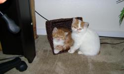 CFA Exotic Shorthair male kitten.Born July 29th.All shots,litter trained,very playful and friendly.Very nice with other pets.PKD negative and generic health guarantee.I have only white one left for sale.The brown is being sold.