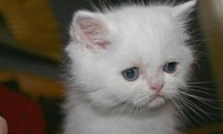 We have 3 exotic shorthair kittens who will be ready for their new homes around December 21st. We have 2 girls and one boy and they are all white. They will have had their first set of shots and will have registration papers with CFA and TICA. Please