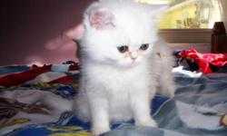 11 Week old male exotic shorthair kitten,Very sweet,Playfull,And healthy.CFA reg.Mostly white but is a shaded silver.PKD.Neg