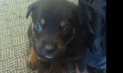 Extra cute Rotweiler puppy in need of loving family home. Call with any questions.