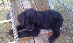 "We have four labradoodles left. The puppies are ready to go to good homes. We have one black male with a sleek coat. He has a white ""blaze"" on his chest. We have 2 wavy black females and one b/w parti colored female. All puppies have been raised in our"