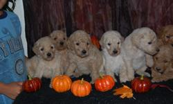 I have a litter of GOLDENDOODLE puppies. They were born August 31st 2012. They will be ready for their new homes around October 12th. They will come with their 1st set of shots, dewormed, dewclaws removed, health record and a written health guarantee.