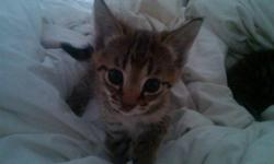 We have two F2 Savannah Kittens, one cool brown male and one golden female. They are both well socialized and will be very large as both parents are over 20 pounds. We will deliver around August 1st with 2 sets of killed virus vaccines, 6 month health