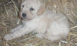 This little girl reminds me of a baby doll. She is a mini F2B pup and will weigh 20-30 pounds at maturity. The mother, Sammy, is an OFA pre-certified, F1B Labradoodle from AKC, OFA certified stock that was bred to an AKC registered male miniature poodle.