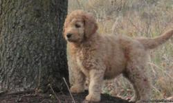 I have 4 Multi-gen F3 Labradoodle puppy's looking for new homes. They are ready for you now. 1 Black male,2 black/white tux coats, and 1 Carmel one. These puppy's are lab smart and poodle features as they do not shed and and be in home where allergies are