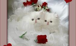 """Absolutely Gorgeous Show and Pet Quality Blue Eyed White Persians, Himalayans and Exotics. Pampered, Healthy, Loving kittens Available to approved homes. Please visit us at furrbcats.com """"FOR QUALITY THAT SHOWS"""""""