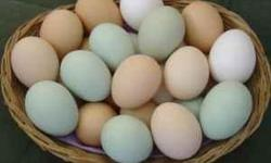 We can supply you with farm fresh eggs even over the winter months! Our eggs range from blue-green, blue, dark brown, brown, and pinkish brown. $2.00 a dozen. email me and I will get back to you
