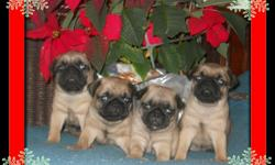 Puppies come with CKC registration papers, shots, and health certificates from my vet verifying excellent health. Puppies have been socialized with young children and pets. Mommy and Daddy are family pets and are available to meet. Puppies may be