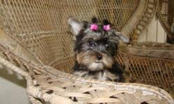 Akc Yorkshire Terrier puppies on sale Now. Starting at $600 - $2,200 I have 2 females and 1 male parti gene carriers, We also have 1 Full Parti male. Puppies are Potty trained to go on AstroTurf, The Sire of this litter is Aladdin, he is from Fantasy